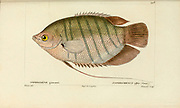 Osphromenus from Histoire naturelle des poissons (Natural History of Fish) is a 22-volume treatment of ichthyology published in 1828-1849 by the French savant Georges Cuvier (1769-1832) and his student and successor Achille Valenciennes (1794-1865).