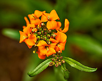 Orange wildflower. Backyard spring nature in New Jersey. Image taken with a Nikon Df camera and 105 mm f/2.8 VR macro lens (ISO 100, 105 mm, f/8, 1/125 sec).
