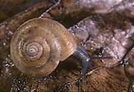 Strawberry Snail - Trichia striolata