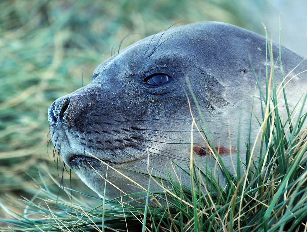 A seal rests among tussac grass (Poa flabellata) growing on a rocky hillside. Ocean Harbour,  South Georgia.
