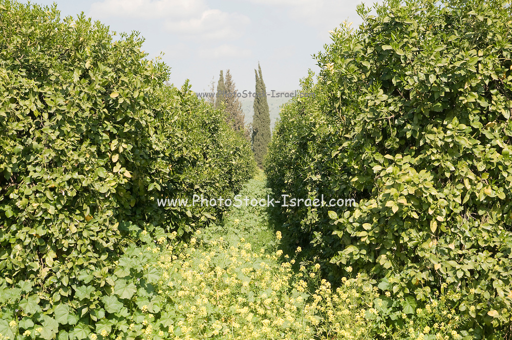 Israel, Hula Valley, Kibbutz Hulata, An orchard of oroblanco or sweetie a cross between an acidless pomelo and a white grapefruit. (Citrus grandis Osbeck × C. Paradisi Macf.)