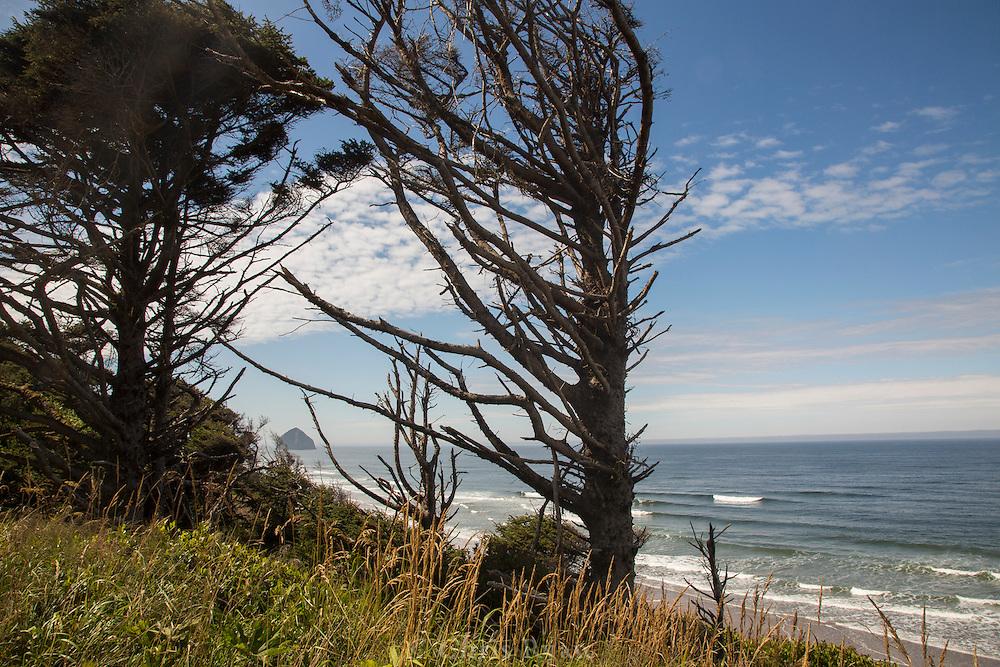 Coastal cypress and Haystack Rock, Tilamook, Oregon
