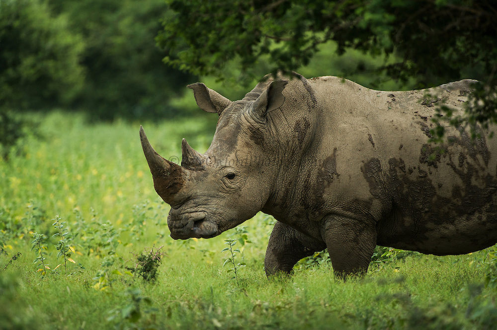 White Rhinoceros (Ceratotherium simum)<br /> Private Reserve, <br /> SOUTH AFRICA<br /> RANGE: Southern & East Africa<br /> ENDANGERED SPECIES