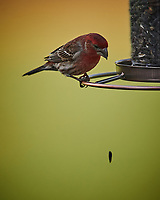 House Finch Eating Sunflower Seeds. Image taken with a Nikon D4 camera and 600 mm f/4 VR lens