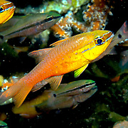 Goldbelly Cardinalfish shelter in branching corals. Picture taken Bail, Indonesia.