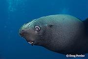 New Zealand fur seal or fur sea lion, Arctocephalus forsteri, Kings Bank, off North Island, New Zealand ( South Pacific Ocean )