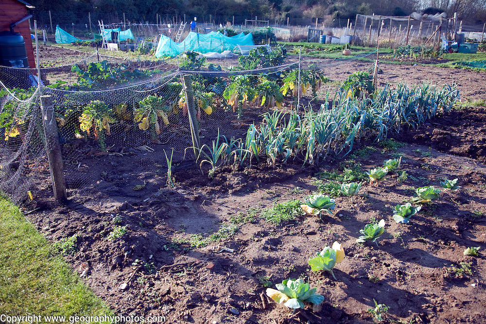 Plants growing in winter allotment gardens, Shottisham, Suffolk, England