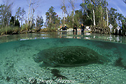 snorkelers invade warm spring where Florida manatees, Trichechus manatus latirostris, refuge during cold weather, Three Sisters Spring, Crystal River National Wildlife Refuge, Crystal River, Florida (now a sanctuary in winter)