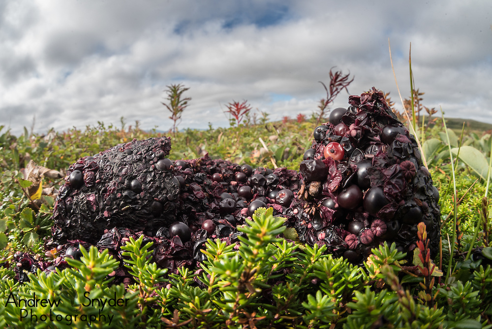 This time of year, brown bear poop is full of the blueberries they've been snacking on - Katmai, Alaska