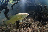 Neosho Smallmouth Bass<br /> <br /> Isaac Szabo/Engbretson Underwater Photography