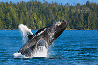 Humpback whale breaching near Bella Bella, British Columbia, Canada