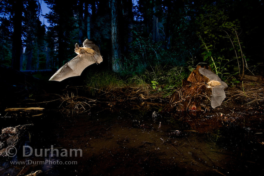 Western long-eared myotis (Myotis evotis) come to drink at a pond at dusk. Ochoco Pass, Oregon. Please note: multiple exposures of this scene were combined digitally.