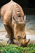 White rhino at the Singapore Zoo, Singapore, Republic of Singapore