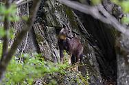 Chinese goral, Naemorhedus griseus, Tangjiahe Nature Reserve, Sichuan, China
