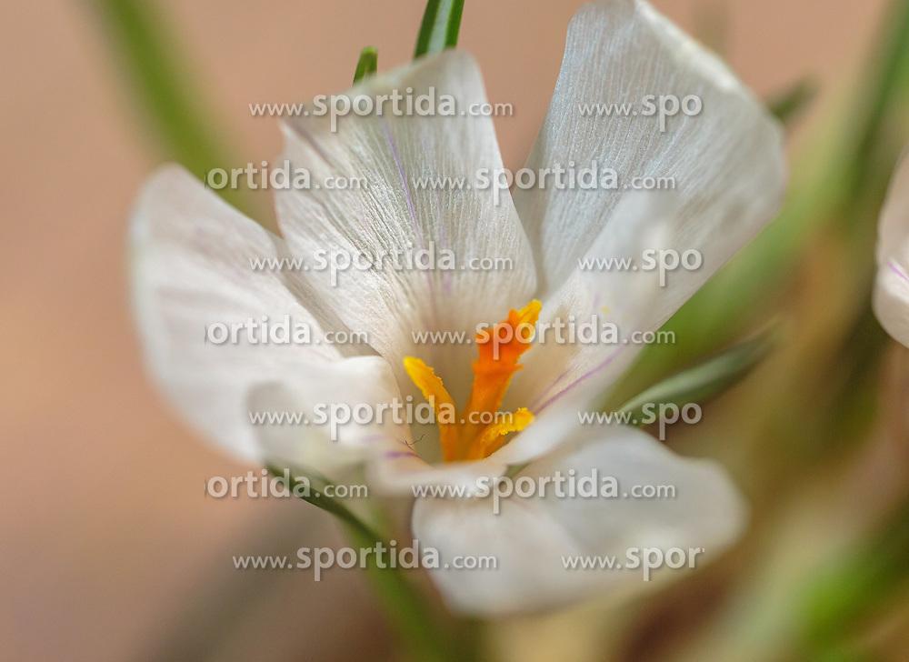 THEMENBILD - die Blüte eines weißen Krokus (Schwertliliengewächse, Iridaceae), aufgenommen am 02. März 2018, Ort, Österreich // a white crocus blossom on 2018/03/02, Ort, Austria. EXPA Pictures © 2018, PhotoCredit: EXPA/ Stefanie Oberhauser