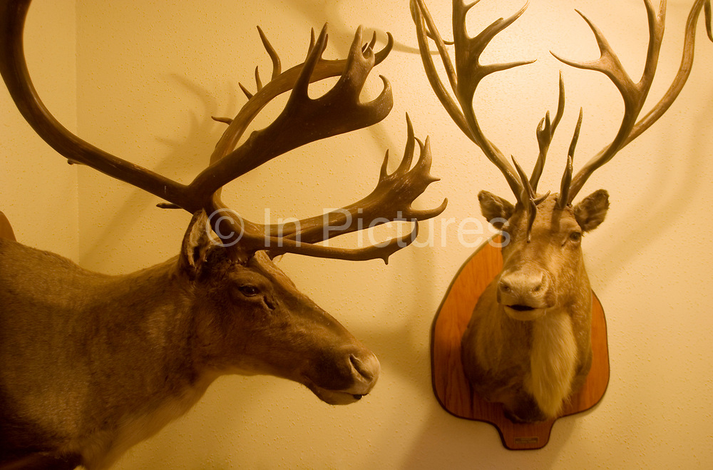 Hunter Byron Grubb's home in Burlington near Minot, North Dakota is full of the guns, trophies, stuffed animals and hunting paraphernalia of an experienced hunter. Here, the entrance to his family home shows off two proud elk with fine full racks which he hunted and shot.