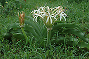 Vley lilly, Crinum buphanoides, Limpopo, South Africa