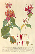 Coloured Copperplate engraving of a Monarda plant from hortus nitidissimus by Christoph Jakob Trew (Nuremberg 1750-1792)