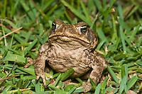 Cane toad, Bufo marinus. El General Valley, Costa Rica