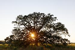 Sunburst through branches of towering Post Oak Tree on the Daphne Prairie, a remnant of the Blackland Prairie, Mount Vernon, Texas, USA.