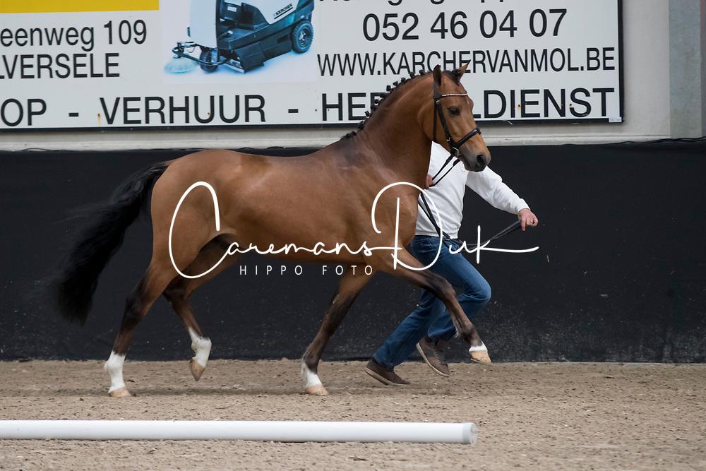 09 - Rumba Star MLH<br /> BrP Keuring <br /> Hulsterlo - Meerdonk 2017<br /> © Hippo Foto - Dirk Caremans<br /> 17/03/2017