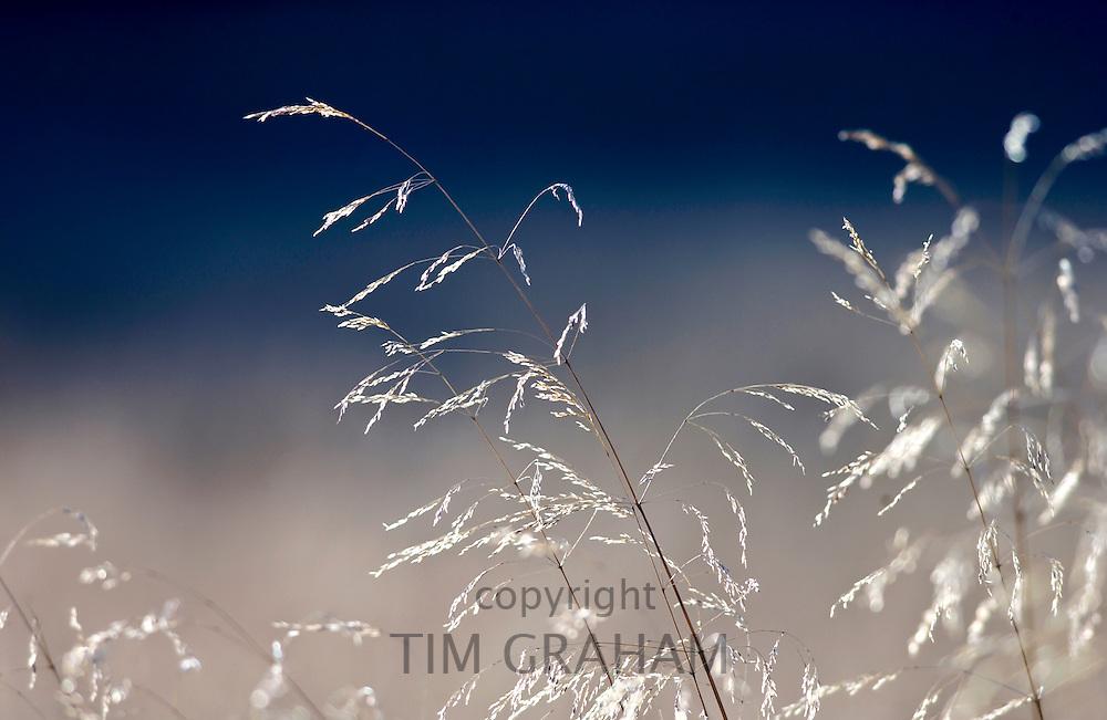 Meadow grasses, England