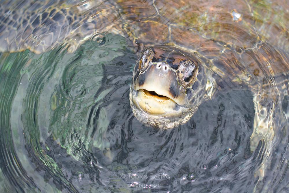 Green turtle surfacing for air on Savaii, Western Samoa.