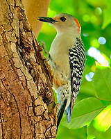 Red-bellied Woodpecker (Melanerpes carolinus). Historic Old Northeast. St. Petersburg, Florida. Image taken with a Fuji X-T2 camera and 100-400 mm OIS lens.