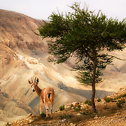 Used to desert conditions, the clever Mountain Gazelle is known how to dig for drinkable water.