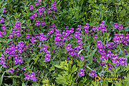 Lewis Monkeyflowers in Crater Lake National Park, Oregon, USA