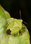 Close-up of a Green shieldbug (Palomena prasina) resting on a leaf in a Norfolk wood in summer