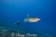 Marc Hughes shoots video of a large female tiger shark, Galeocerdo cuvier, with crooked jaw likely from fishing interaction, and a remora on its chin, Honokohau, Kona, Big Island, Hawaii, USA ( Central Pacific Ocean ) MR 487