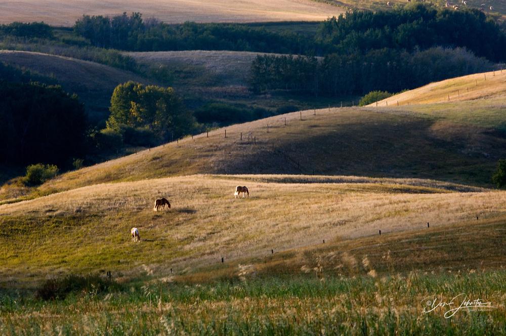 Grazing horses in evening light, Stahlville, Alberta, Canada