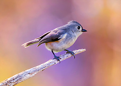 A Tufted Titmouse perched on a small tree branch with a background of purple and orange hues.
