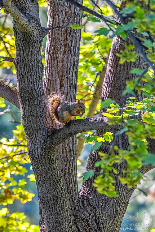 A fox squirrel (Sciurus niger) feasts on an acorn from its perch in an oak tree in Potholes State Park in Grant County, Washington. The fox squirrel is the largest tree squirrel native to North America, though its original range consisted of the eastern half of the continent. It was introduced to several western states, including Washington, as well as the Canadian province of British Columbia.