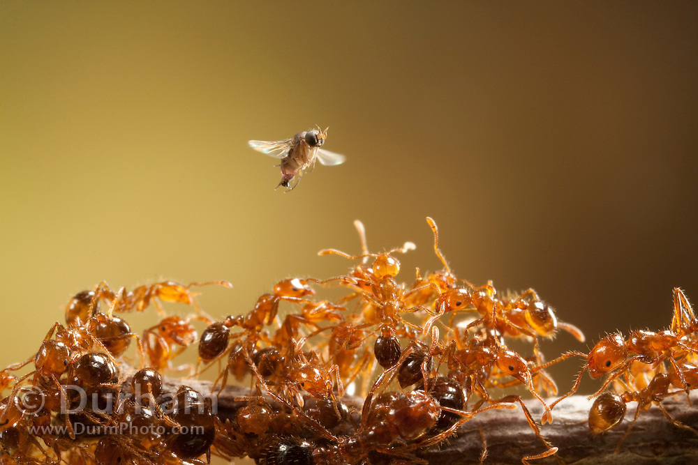 a female phorid fly (Pseudacteon obtusus)  flies above red imported fire ants (solenopsis invicta) searching for an ant to implant with an egg. She uses the stabbing part of her ovipositor to pierce the thorax and implant the egg. After the egg hatches the larvae migrates to the ant's head, and kills the insect. This type of fire ant is an invasive species imported from South America, and the phorid fly is being introduced to parts of Texas to help control the population of introduced fire ants.