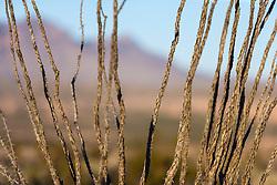 Ocotillo (Fonquieria splendens) and mountains, Big Bend National Park, Texas