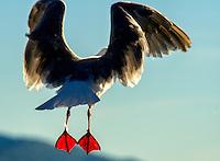 A gull's red feet glow brightly, backlit by the sunlight, Kodiak, Alaska.
