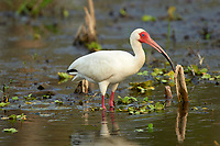 White Ibis (Eudocimus albus), Arthur J Marshall National Wildlife Reserve - Loxahatchee, Florida, USA