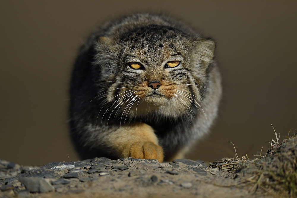 Pallas's cat (Otocolobus manul), also called the manul, sneaking around in a mountain landscape and photogrphed from the front, Tibetan Plateau 5000 m asl, Qinghai, China