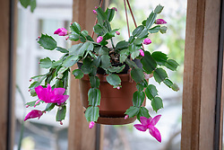Christmas cactus in a conservatory - Schlumbergera