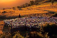 France, Languedoc Roussillon, Gard, Cévennes, transhumance des moutons dans le massif de l'Aigoual, col de Bomperrier
