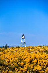 May 3, 2017 - Silloth, Cumbria, United Kingdom - Image ©Licensed to i-Images Picture Agency. 03/05/2017. Silloth, United Kingdom. Gorse bushes bloom bright yellow in the Cumbrian Spring sunshine. Picture by Stuart Walker / i-Images (Credit Image: © Stuart Walker/i-Images via ZUMA Press)