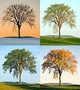 Best_In_Show.  Four seasons of an elegant elm tree.