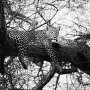 Leopard hidden in tangle of branches, Tarangire National Park, Tanzania