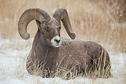 Rocky Mountain Bighorn Sheep (Ovis canadensis)