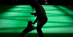 © London News Pictures. 08/03/2012.  A Cavalier King Charles Spaniel  on show on Day one of Crufts at the Birmingham NEC Arena on March 8, 2012 in Birmingham.  Crufts, which is the largest annual dog show in the world, hosts over 20,000 dogs and owners who compete in a variety of categories. Photo credit : Ben Cawthra/LNP