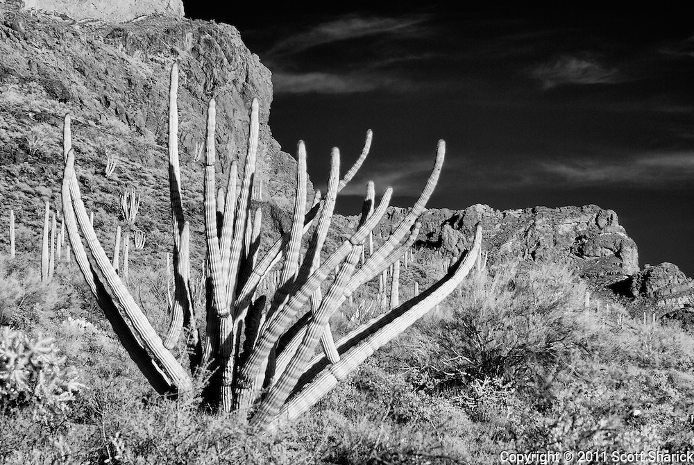 An infrared image in the Organ Pipe Cactus National Monument.