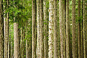 mature trees in the Tahoma State Forest in the Cascade Mountain Range, Washington, USA