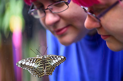 "© Licensed to London News Pictures. 05/09/2019. LONDON, UK. A staff member views a butterfly at a ""Butterfly Biosphere"" in Grosvenor Square, Mayfair.  Setup by Bompas and Parr in association with King's College London and Butterfly Conservation, the aim is to make visitors more aware of the importance of pollinators and the ecosytem that the capital's 50 species of butterfly need to thrive.  The biosphere is open 5 to 15 September. Photo credit: Stephen Chung/LNP"